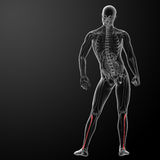 3d rendered illustration - fibular Royalty Free Stock Images