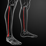 3d rendered illustration - fibular Royalty Free Stock Photos