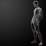 3d rendered illustration - fibular Royalty Free Stock Photo