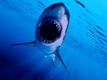 A great white shark. 3d rendered illustration of a great white shark royalty free illustration