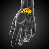 3d rendered illustration of the human carpal bones Stock Photography