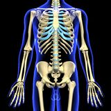 3d rendered illustration of a human skeleton Royalty Free Stock Photos