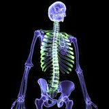 3d rendered illustration of a human skeleton Royalty Free Stock Photography