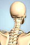 3d rendered illustration of the male skeleton Stock Photo