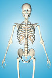 3d rendered illustration of a male skeleton Royalty Free Stock Image