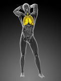 3d rendered illustration of the respiratory system Royalty Free Stock Images