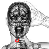 3d rendered illustration of the  thyroid gland Royalty Free Stock Photos