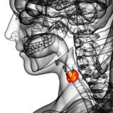 3d rendered illustration of the  thyroid gland Royalty Free Stock Images
