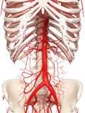 The abdominal arteries. 3d rendered medically accurate illustration of the abdominal arteries Royalty Free Stock Image
