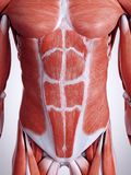 The abdominal muscles. 3d rendered medically accurate illustration of the abdominal muscles royalty free illustration
