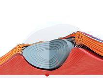 The eye anatomy. 3d rendered medically accurate illustration of the eye anatomy vector illustration