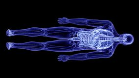 The human anatomy. 3d rendered, medically accurate illustration of the human anatomy royalty free illustration