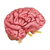 The human brain. 3d rendered, medically accurate illustration of the human brain royalty free illustration