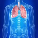 The lungs. 3d rendered, medically accurate illustration of the lungs stock illustration