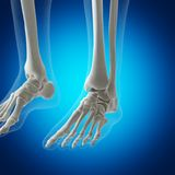 The skeletal foot. 3d rendered medically accurate illustration of the skeletal foot vector illustration