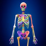 3d rendered medically accurate illustration of skeleton anatomy. The human skeleton is the internal framework of the body. It is composed of around 300 bones at Stock Image