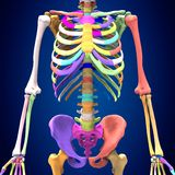 3d rendered medically accurate illustration of skeleton anatomy. The human skeleton is the internal framework of the body. It is composed of around 300 bones at Royalty Free Stock Photo