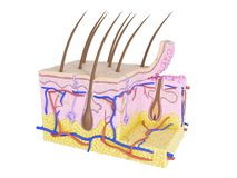 Skin cross-section. 3d rendered medically accurate illustration of skin cross-section stock illustration