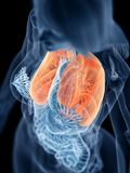 A womans lung. 3d rendered medically accurate illustration of a womans lung royalty free illustration