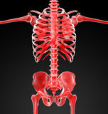 3d rendered skeleton Royalty Free Stock Image