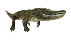 3D Rendering American Alligator on White Royalty Free Stock Photography