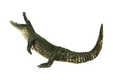 3D Rendering American Alligator on White Royalty Free Stock Image