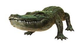 3D Rendering American Alligator on White Stock Image