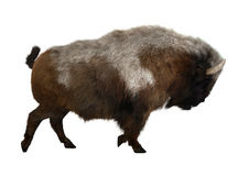 3D Rendering American Bison on White Royalty Free Stock Image