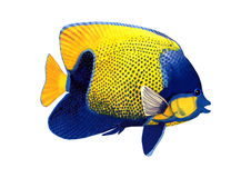3D Rendering Angelfish on White Royalty Free Stock Photography