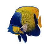 3D Rendering Angelfish on White Stock Photo