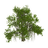 3D Rendering Banyan Tree on White. 3D rendering of a banyan tree isolated on white background Royalty Free Stock Photography