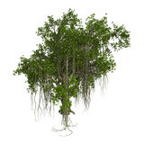 3D Rendering Banyan Tree on White. 3D rendering of a banyan tree isolated on white background Stock Photo
