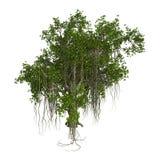 3D Rendering Banyan Tree on White Stock Photo