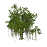 3D Rendering Banyan Tree on White Stock Images