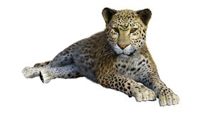 3D Rendering Big Cat Leopard on White stock images
