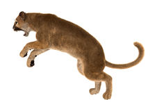 3D Rendering Big Cat Puma on White. 3D rendering of a big cat puma isolated on white background Stock Photography