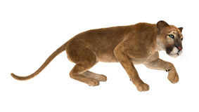 3D Rendering Big Cat Puma on White. 3D rendering of a big cat puma isolated on white background Stock Images