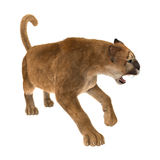 3D Rendering Big Cat Puma on White. 3D rendering of a big cat puma isolated on white background Royalty Free Stock Photography