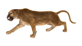 3D Rendering Big Cat Puma on White. 3D rendering of a big cat puma isolated on white background Royalty Free Stock Images