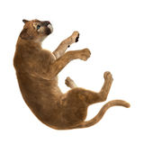 3D Rendering Big Cat Puma on White. 3D rendering of a big cat puma isolated on white background Stock Image