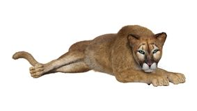 3D Rendering Big Cat Puma on White. 3D rendering of a big cat puma isolated on white background Stock Photos