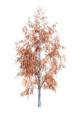 3D Rendering Birch Tree on White Royalty Free Stock Photos