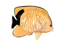 3D Rendering Blacktail Angelfish on White Stock Photo