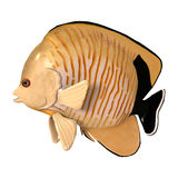 3D Rendering Blacktail Angelfish on White Stock Photos