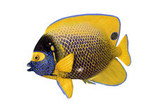 3D Rendering blueface angelfish on White Stock Image