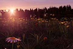 3d rendering of blurred daisy flower in the meadow. During beautiful sunset Royalty Free Stock Images