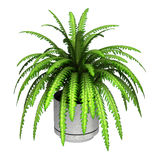 3D Rendering Boston Fern on White. 3D rendering of a green boston fern in a flower pot isolated on white background Stock Photo