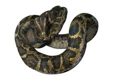 3D Rendering Burmese Python on White royalty free stock image