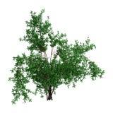 3D Rendering Bush Rosa Majalis on White Stock Photos