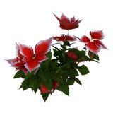 3D Rendering Christmas Poinsettia Plant on White stock photos